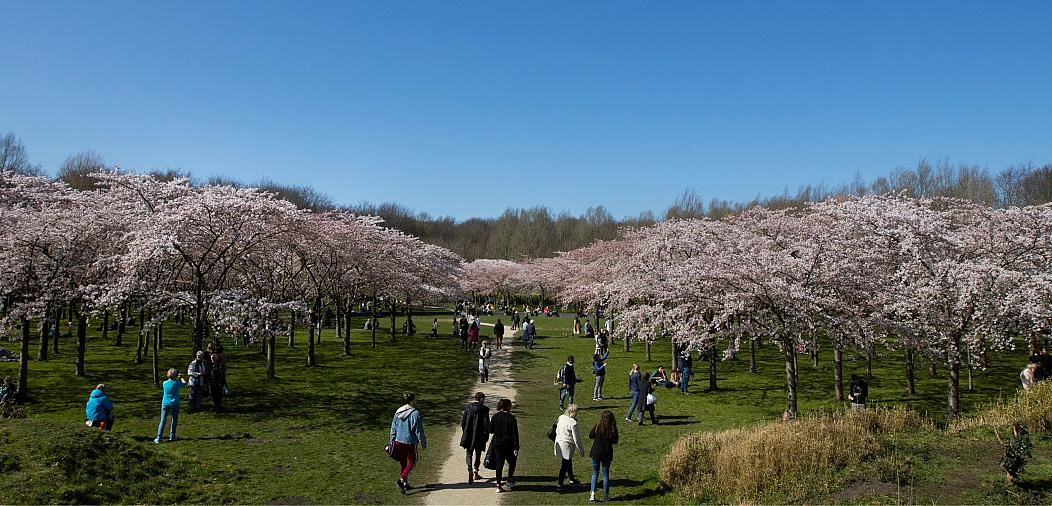 شکوفه های گیلاس در هلند