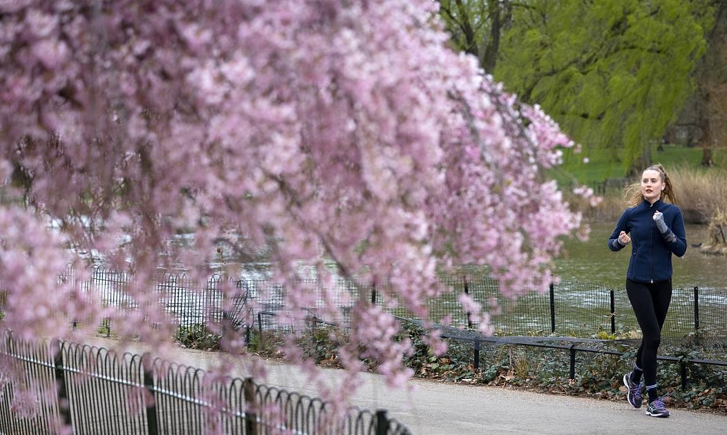 شکوفه های گیلاس در انگلیس