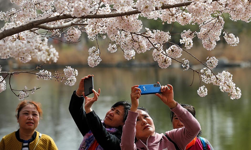 شکوفه های گیلاس در چین
