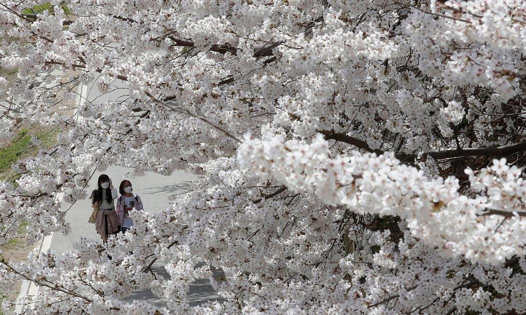 شکوفه های گیلاس در کره جنوبی